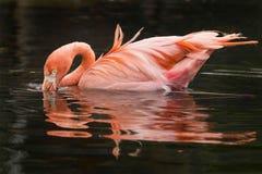 Flamingów odbicia Obraz Royalty Free