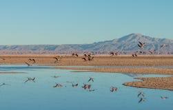 Flamingów odbicia, Laguna Chaxa obraz stock