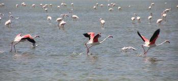 3 flamingów Phoenicopterus Wielki roseus bierze daleko obraz stock