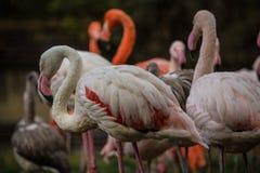 Flamingów portrety Obraz Royalty Free