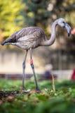 Flamingów portrety Zdjęcia Royalty Free