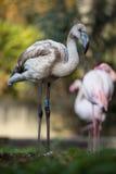 Flamingów portrety Zdjęcie Stock