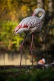 Flamingów portrety Fotografia Stock