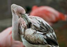 flamingów potomstwa Zdjęcia Stock