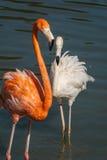 Flamingów ptaki na wodzie Obrazy Royalty Free
