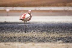 FLAMINGÓW wielcy ptaki z Miękkim Bokeh tłem, Uyuni Boliwia Zdjęcia Royalty Free