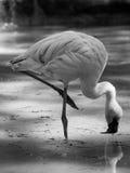 Flamingów zwierząt czarny i biały portrety Obraz Royalty Free