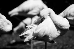 Flamingów zwierząt czarny i biały portrety Zdjęcia Stock