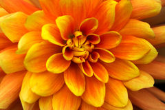 Flaming August. Portrait of dahlia. Macro photography of nature Stock Photography