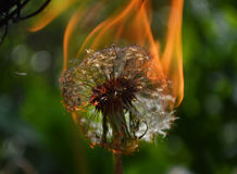 Flaming dandelion Royalty Free Stock Photography
