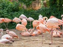 Flaming jest typ brodzący ptak w genus Phoenicopterus Obraz Royalty Free