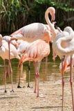 Flaming jest typ brodzący ptak w genus Phoenicopterus Zdjęcie Royalty Free