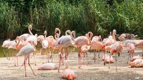 Flaming jest typ brodzący ptak w genus Phoenicopterus Obrazy Stock