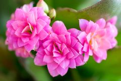 Flaming Katy Flower stock photos