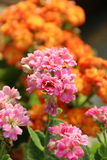 Flaming Katy Flower - Kalanchoe Blossfeldiana. In the garden Stock Images