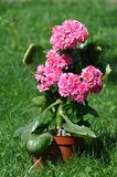 Flaming Katy flower. Macro detail of Flaming Katy flower in the spring Stock Image