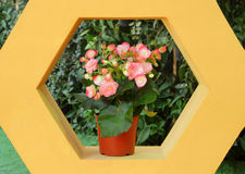 Flaming Katy flower in pot. Kalanchoe Blossfeldiana - Flaming Katy flower in pot on concrete frame shelf Stock Image