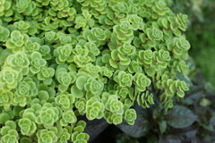 Flaming Katy -  green fern with the nature Royalty Free Stock Photos