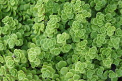 Flaming Katy -  green fern with the nature Stock Image