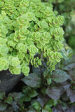 Flaming Katy -  green fern with the nature Royalty Free Stock Image