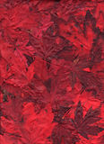 Flaming Maple Leaf Assortment. A bold assortment of flaming maple leaves arranged for a fall background image.  A mixture of vibrant light and dark reds Royalty Free Stock Photo