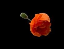 Flaming orange poppy flower and bud Royalty Free Stock Photos