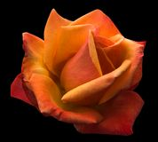 Flaming orange rose Royalty Free Stock Images