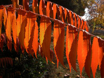 Flaming Orange Sumac Tree Stock Image