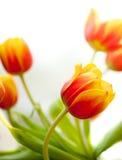 Flaming Orange Tulips. Axel Torres Tulips on white background royalty free stock photo