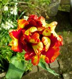 Flaming Parrot Tulip from Above Stock Images