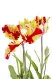 Flaming Parrot Tulip Flowers. Stock Photos