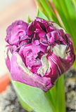 Flaming parrot tulip violet and white flower, close up Stock Photos