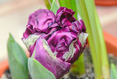 Flaming parrot tulip violet and white flower, close up Royalty Free Stock Image