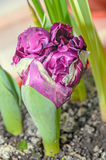 Flaming parrot tulip violet and white flower, close up Royalty Free Stock Photography