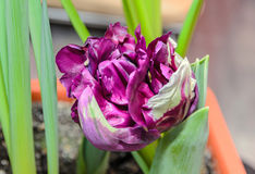 Flaming parrot tulip violet and white flower, close up Stock Photography