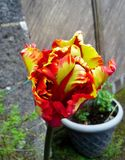 Flaming Parrot Tulip Stock Images