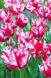 Flaming Parrot tulips Royalty Free Stock Photo