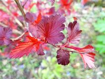 Branch with red leaves. Beautiful leaf colours. Flaming red burning bush shrub. Beautiful intensive red leaves stock image