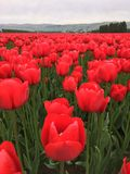 Flaming red tulip field. Field of flaming red tulips in sunny farm field against blue skies Stock Photography