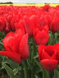 Flaming red tulips. A close up shot of flaming red tulips in a tulip field Stock Images