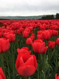 Flaming red tulips on farm. Green field of flaming red tulip blossoms in sunny farm Stock Image