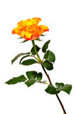 Flaming rose Stock Image