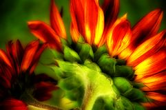 Flaming Sunflower. Bright red flaming sunflower back close up royalty free stock photos