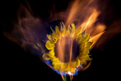Flaming sunflower. Royalty Free Stock Image