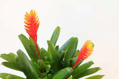 Flaming Sword (Vriesea splendens) Bromeliad. Flowering Flaming Sword (Vriesea splendens) bromeliad; white background Royalty Free Stock Image