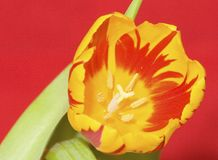 Flaming Tulip 3 Stock Image