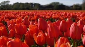 Flaming tulips stock photos