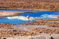 Flaming w Chaxa lagunie Zdjęcia Royalty Free