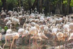Flaming w zoo Tajlandia Zdjęcie Royalty Free