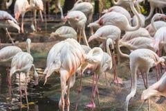 Flaming w zoo Tajlandia Zdjęcia Stock